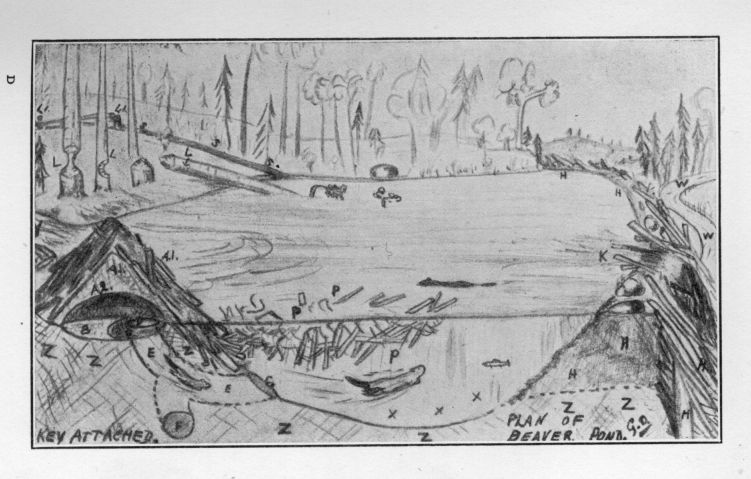 Beaver lodge diagram - photo#19
